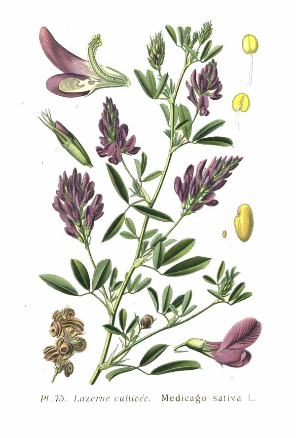 Medicago sativa, also called lucerne